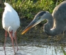 Ibis and heron